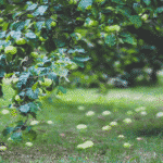 10 Dwarf Fruit Trees Which Can Be Easily Introduced Into Any Size of Garden