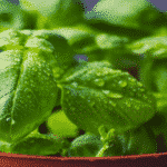 10 Amazing Plants that Repel Flies Easily
