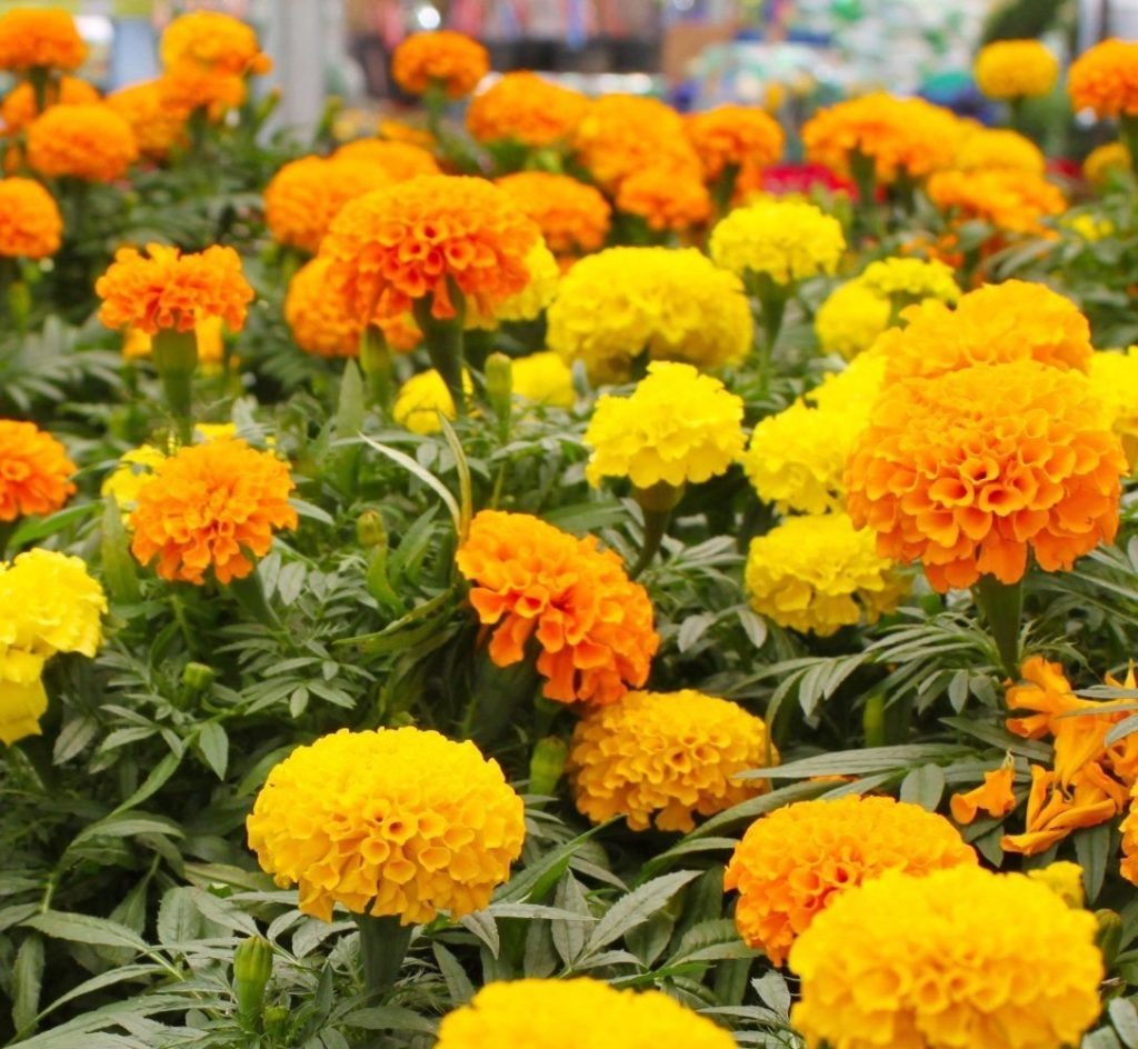 marigold Plants that repel flies