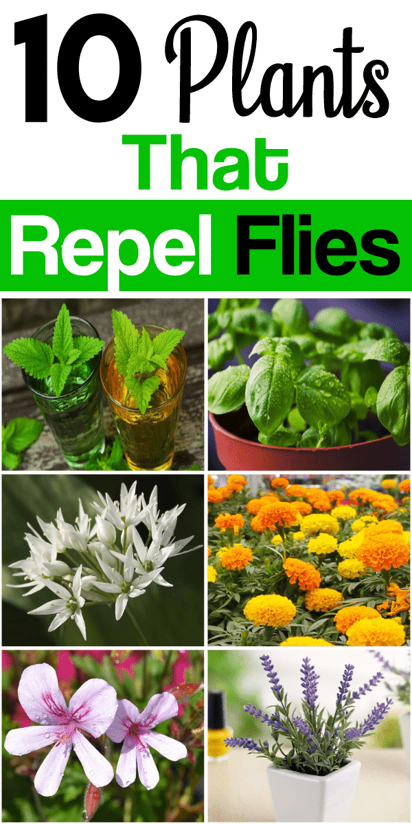 10 plants that repel flies
